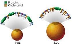 Липопротеиды высокой и низкой плотности